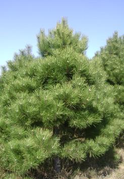 Саженец Сосна чёрная, размер 2,5 - 3 м