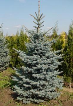 Саженец Ель голубая, размер 2-2,5 м