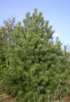 Саженец Сосна обыкновенная, размер 2 - 3 м