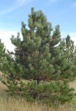 Саженец Сосна обыкновенная, размер 3 - 4 м