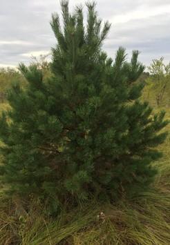 Саженец Сосна кедровая, размер 3-3,5 м