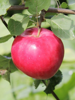 """Яблоня """"Красное раннее"""""""
