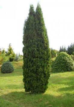 Саженец Туя Колумна, размер 200-225 см